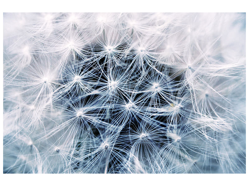 Canvas print Ripe dandelion Close up
