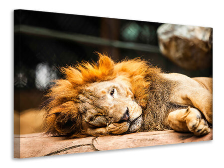 Canvas print Relaxed Lion
